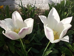 a photo of two white tulips