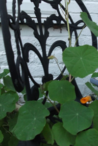 a photo of a nasturtium growing through a garden seat